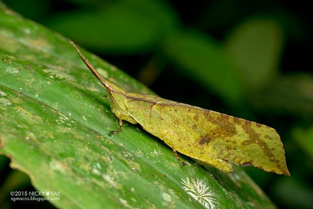 Dead leaf grasshopper (Trigonopterygidae) - DSC_3664