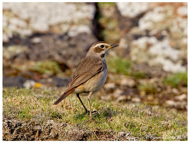 DS0D7758-Bluethroat,-lusinia-svecica,-(female)
