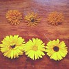 #calendula, dried and fresh. #herbs #greenwitch #witch #magicalherbs #greenmagic