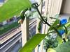 Jalapenos in my balcony garden