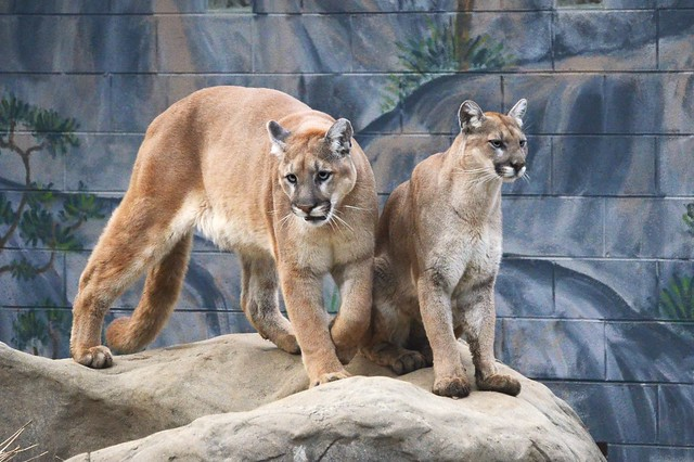 Mountain Lions on the Rock