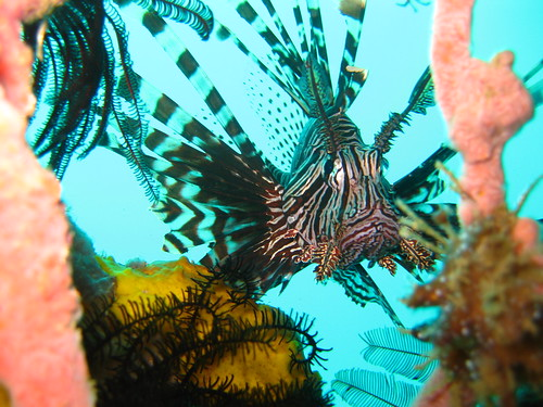 Lionfish, Escarceo Point, Puerto Galera