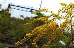 Goldenrod on the tracks