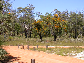 392 Nuytsia floribunda, Christmas Tree Well, Darling Ranges, Western Australia