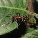 Small photo of Paraponera clavata