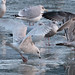 """Geoff Malosh has added a photo to the pool:Second cycle Kumlien's, downtown Pittsburgh, Allegheny County. One of at least seven Iceland Gulls (and probably several more) in the Pittsburgh area so far this winter. This second cycle bird shows a curious wing pattern: note dark markings on the tips of the primaries from P10 all the way inward to P5, and perhaps a very slight mark on P4 as well. Typically in Kumlien's, these darker smudges normally stop at P7. However everything else about this bird is right for Kumlien's Iceland and wrong for Thayer's, so I guess just chalk this up to yet another """"anomaly"""" in this highly variable and overlapping species pair.ebird.org/ebird/view/checklist?subID=S21624008"""