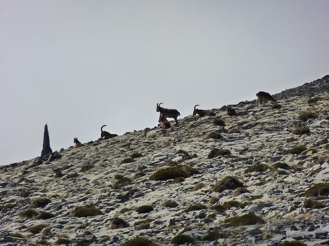 Cabras montesas en el Parque Natural de las Sierras de Tejeda, Almijara y Alhama.