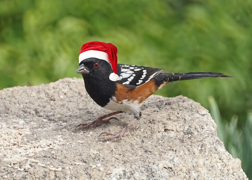Christmas Towhee