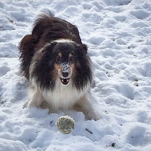 This time I got it! #jasper #Sheltie