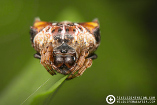 Double-spotted spiny Spider- Thelacantha brevispina ♀