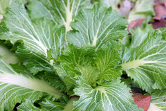 baby savoy cabbage IMG_1212