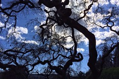 Old oak on a bright blue day