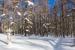 カラマツ樹林帯の緩斜面