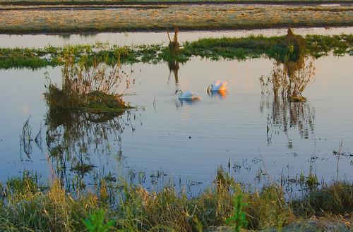 las sunset grass birds forest landscape swan bush poland polska backwater trawa ptaki krajobraz krzew zmierzch łabędź światłocień rozlewisko coloursofwater chairscuro barwywody