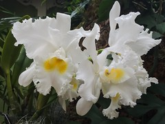 MoBot Orchid 2015-071