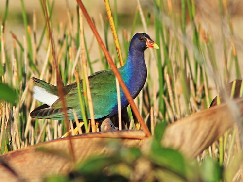 Purple Gallinule 20150117