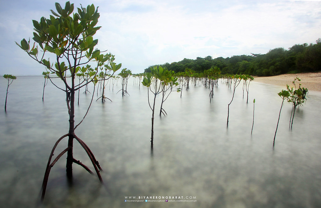 Mangrove Anini-y Nogas Island Antique