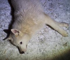 arctic fox, animal, dog, mammal,