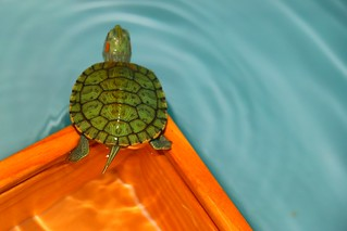 Aquatic Turtle