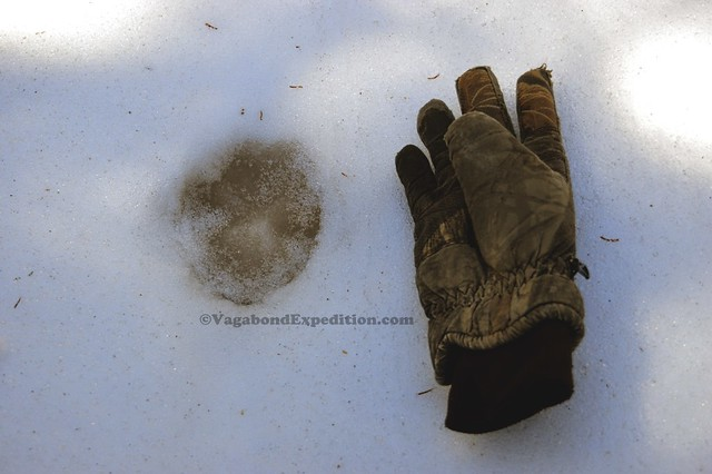 1024 - ve - cougar tracks DSC_2329