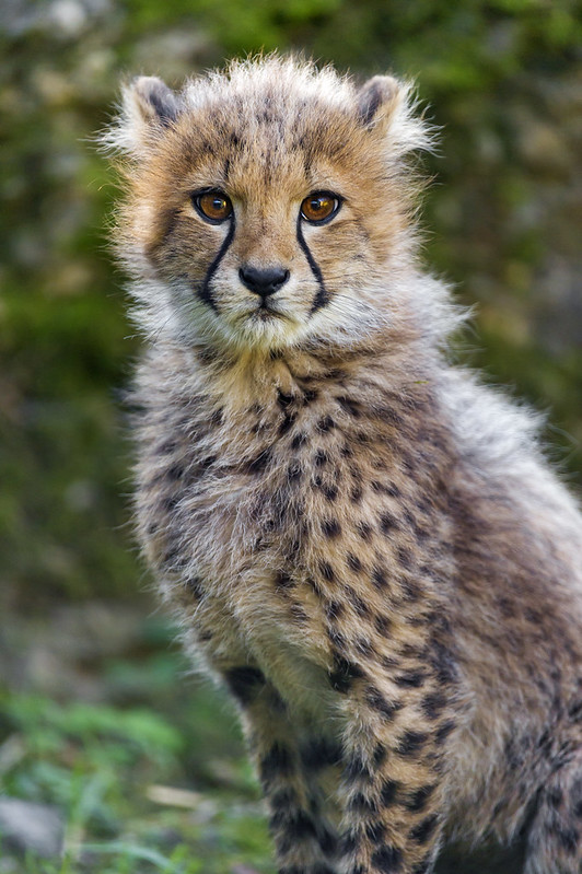 Quite serious cheetah cub!