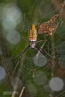 Golden orb web spider (Trichonephila antipodiana) - DSC_1818