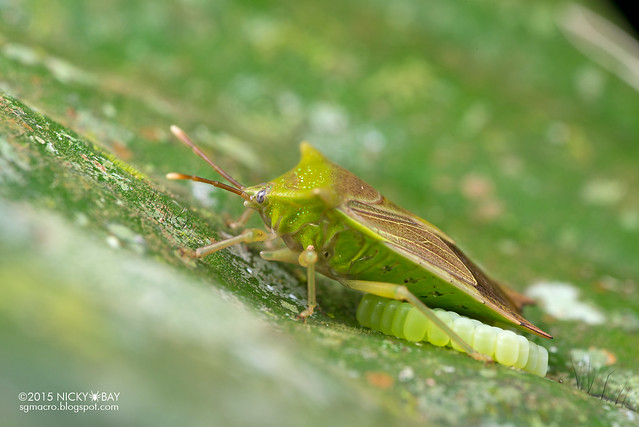 Giant shield bug (Tessaratomidae) - DSC_3153
