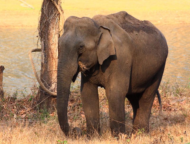 Elephants Kabini