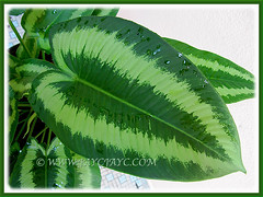 Macro shot of Schismatoglottis calyptrata's variegated leaf
