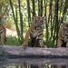 Tiger Cubs Explore New Habitat