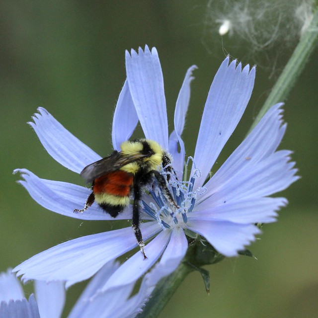 Tri-colored Bumblebee on Chicory