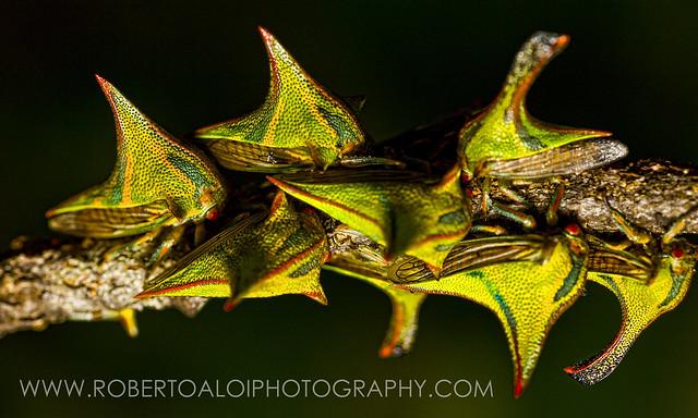 Umbonia crassicornis - Thorn Treehopper