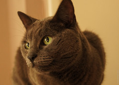 nose, animal, british shorthair, small to medium-sized cats, pet, fauna, chartreux, close-up, cat, carnivoran, whiskers, russian blue, domestic short-haired cat,