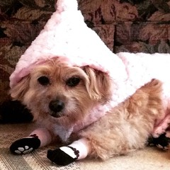 Visions of sugarplums. (Reasons my dog loves me, #497.)