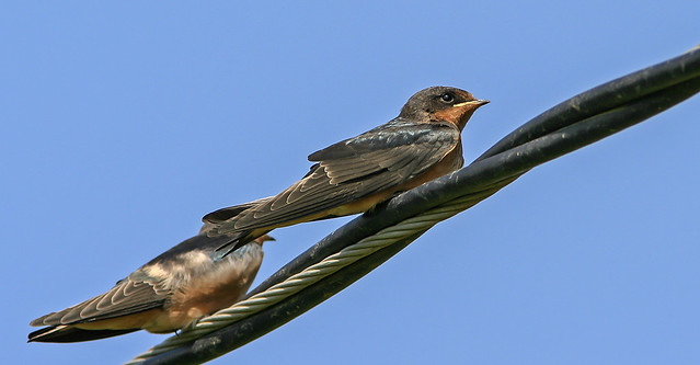 Barm Swallow 20d_2028