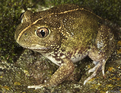 Common Spadefoot Toad (Neobatrachus sudellae)