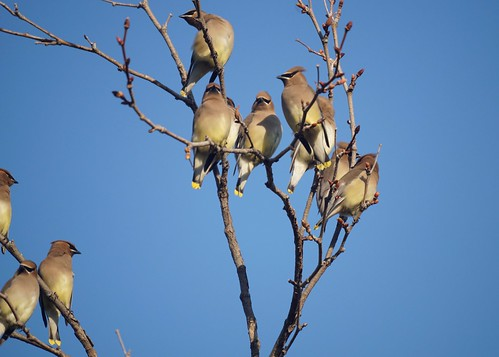 Todays Waxwings