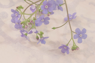 Forget Me Not Blossoms