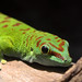 Greenday gecko