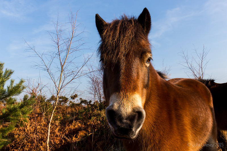Exmoor Pony in the sun