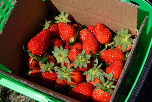 富野草莓園採莓樂