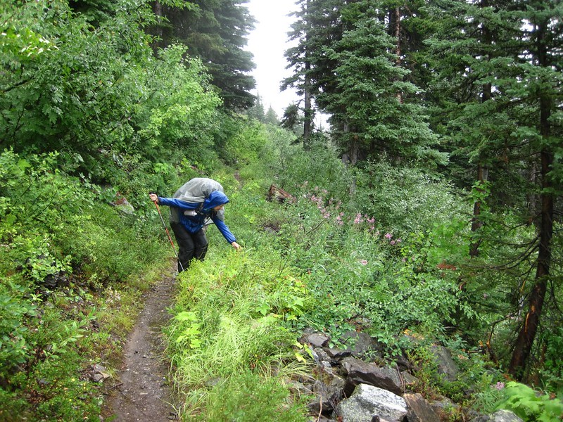 Finding blueberries along the PCT in the West Fork Methow River Valley