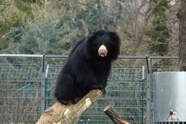 Berliner Zoo Orang Utan Rieke 22.02.2015   14