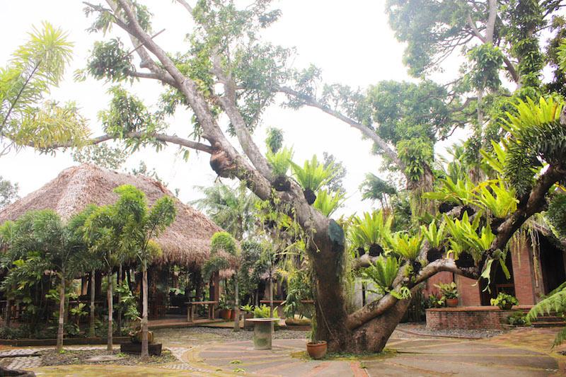 Ugu Bigyan Potter's Garden mango tree