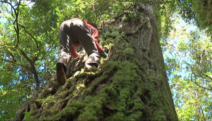 魯凱族人稱之為「撞到月亮的樹」