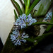Cleisocentum gokusingii species orchid, 1st bloom 1-15* by nolehace