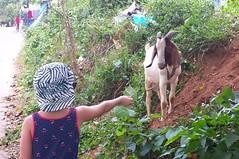 Road goat
