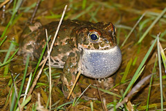 Natterjack Toad (Epidalea calamita) male calling