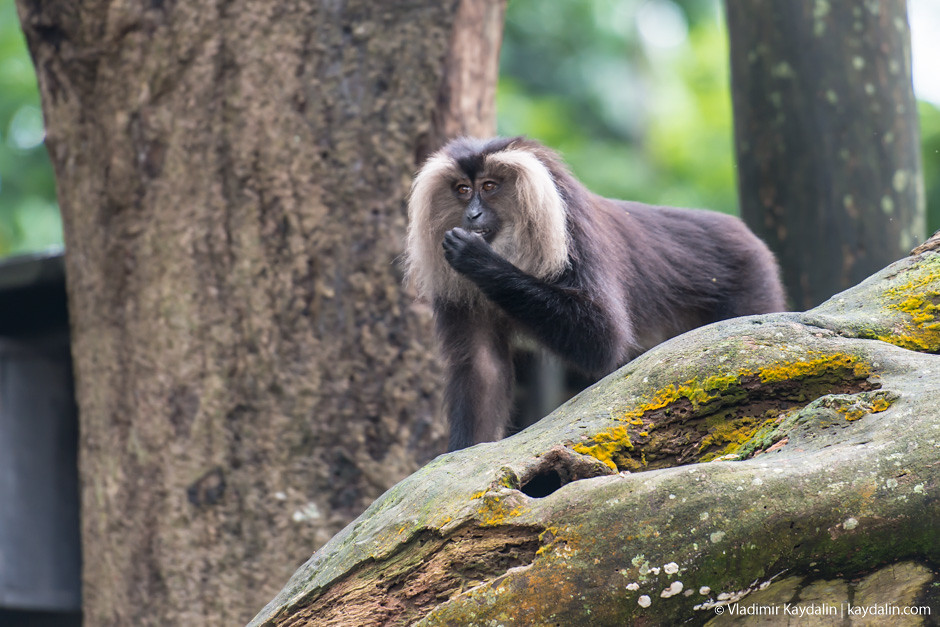 обезьяна, зоопарк Сингапура