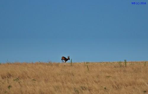 field hill roe deer őz reh mammal outdoor animal golden wheat blue sky bak regöly csernyéd tolna
